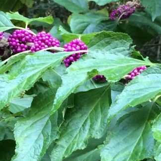 Beautyberry banner