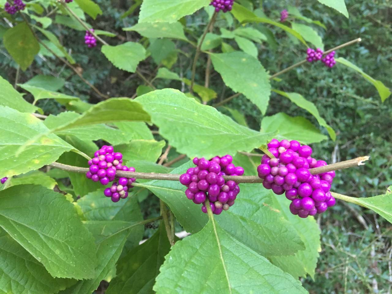 Beauty-berry August 2018