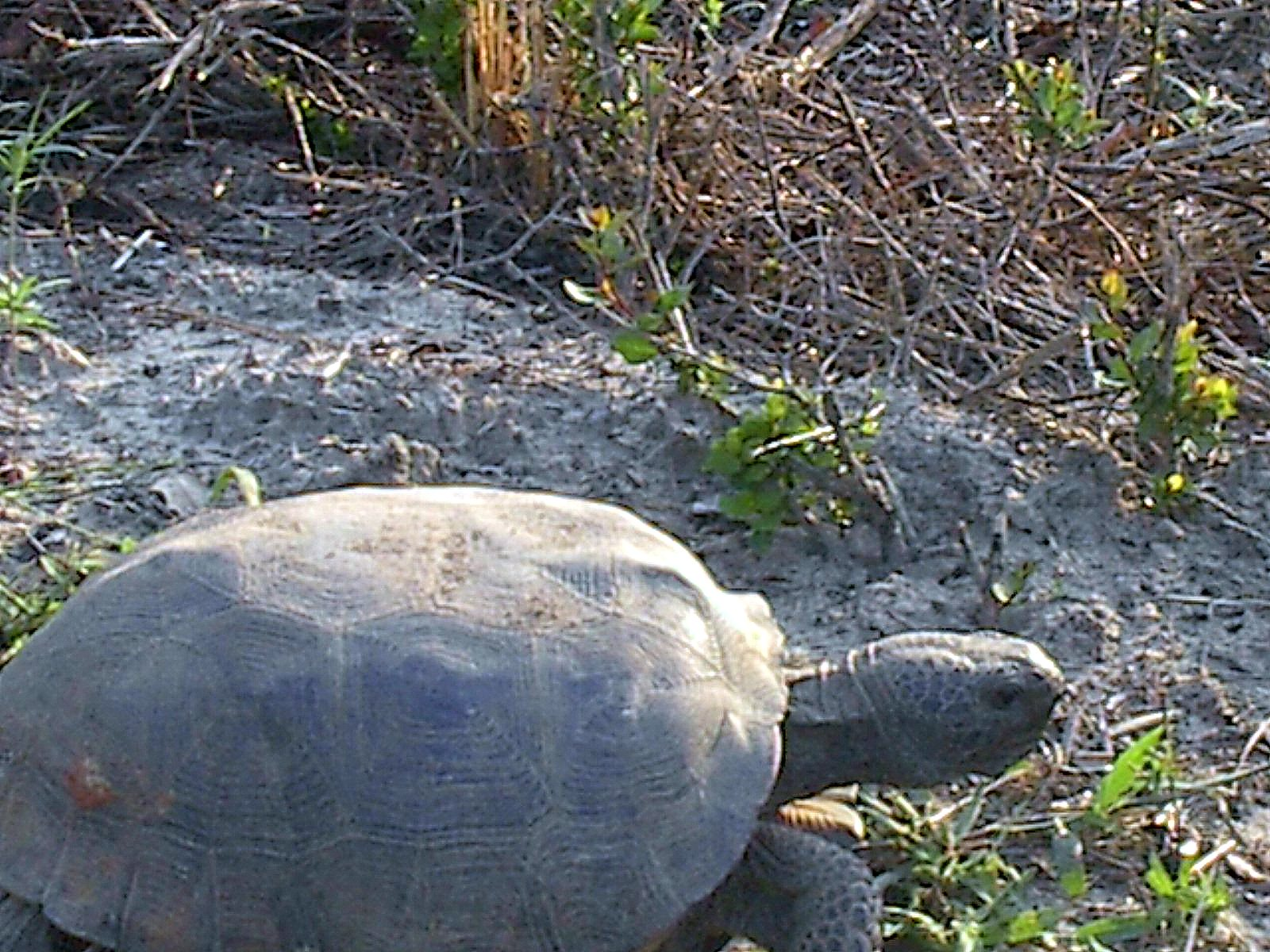 gopher tortoise 2004 - 2