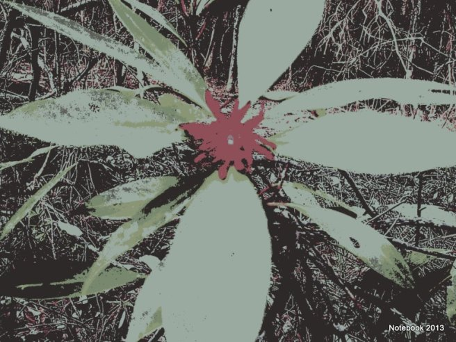 Florida Anise Tree Bloom