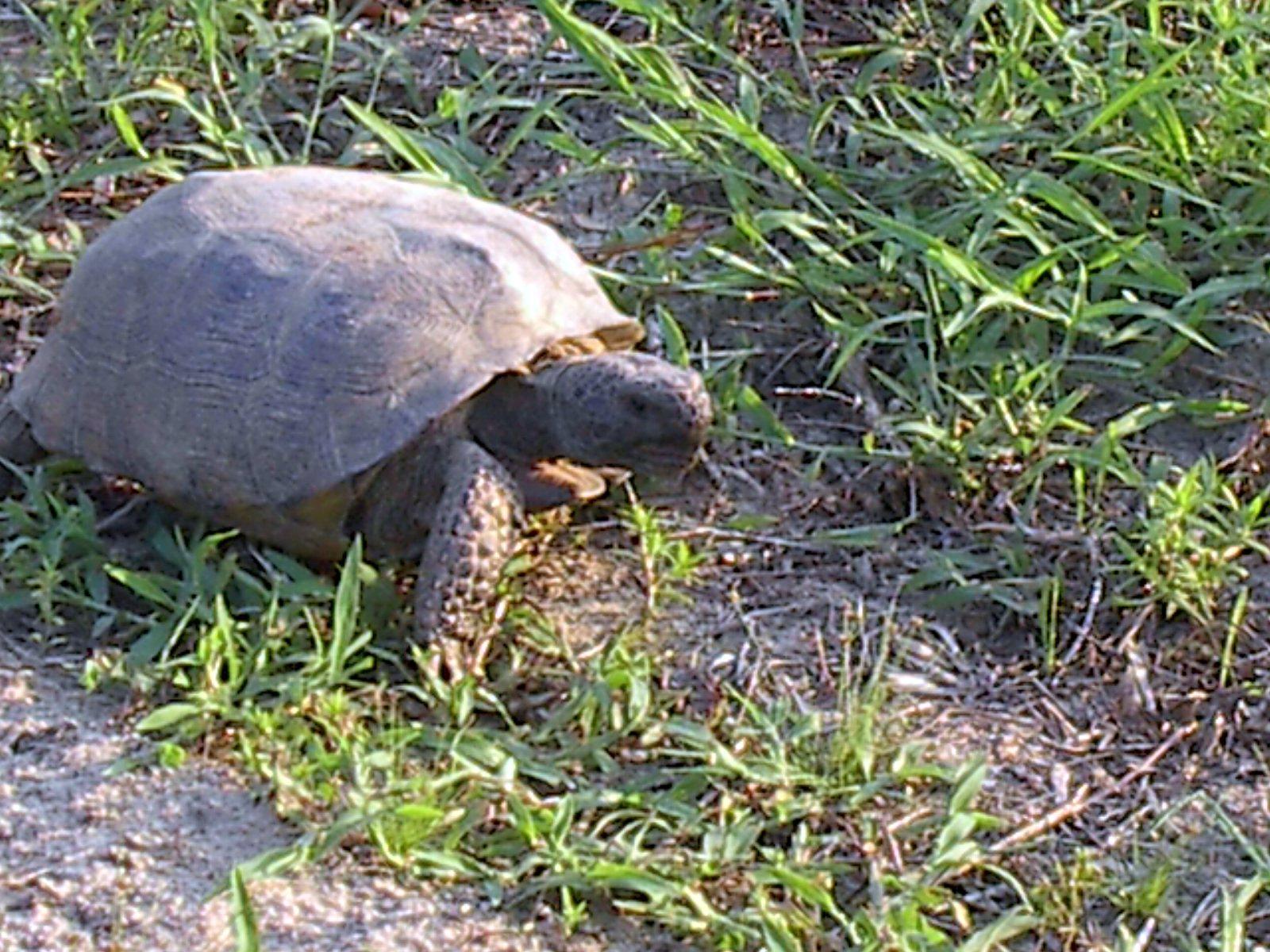 gopher tortoise 2004 - 1