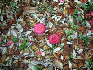 Fallen camelias in secret garden at The Sugar Shack