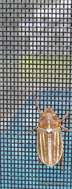Beetle on pool house screen