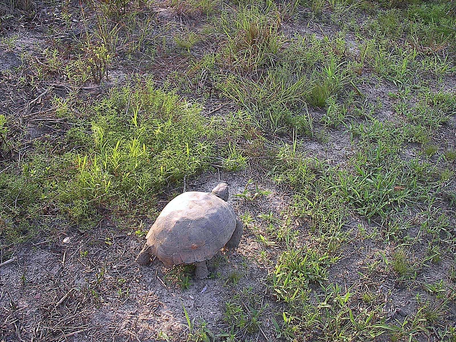 gopher tortoise 2004 - 3