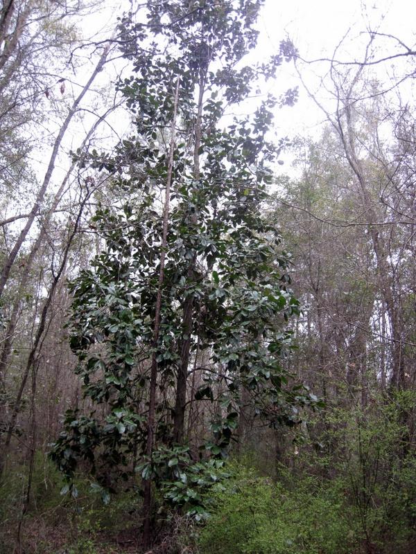 2014 March Magnolia